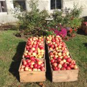Shaker Apples